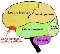 Olfato Wikipedia Concepto Olor Anatomia Olfato