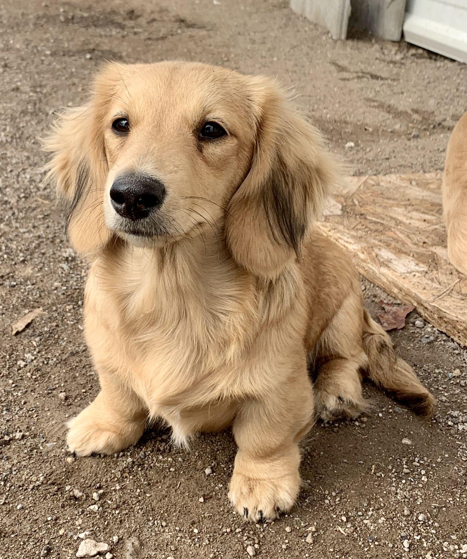 Bokkie, Shaded cream longhair miniature dachshund in 2020
