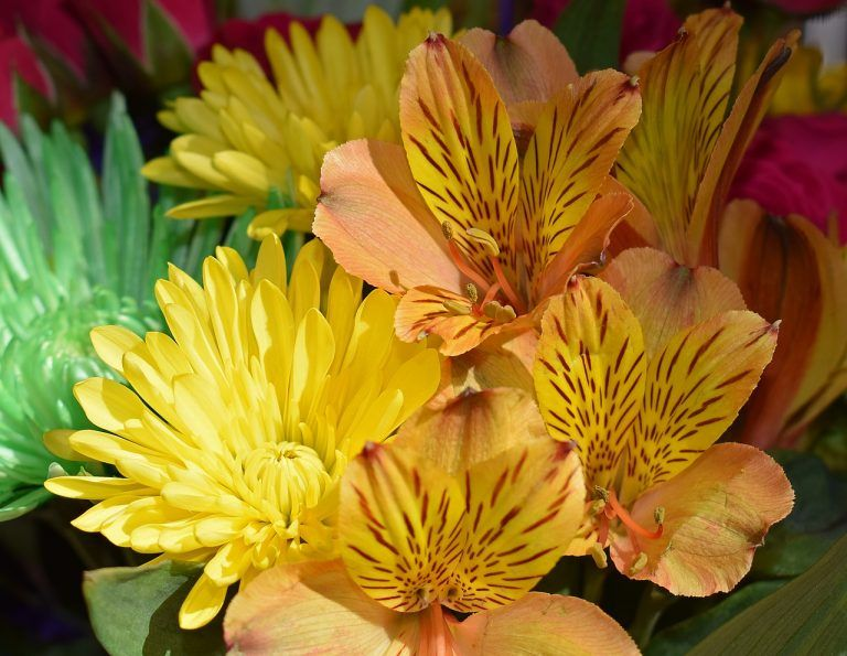 Alstroemeria Flower Meaning And Symbolism In Everyday Lives