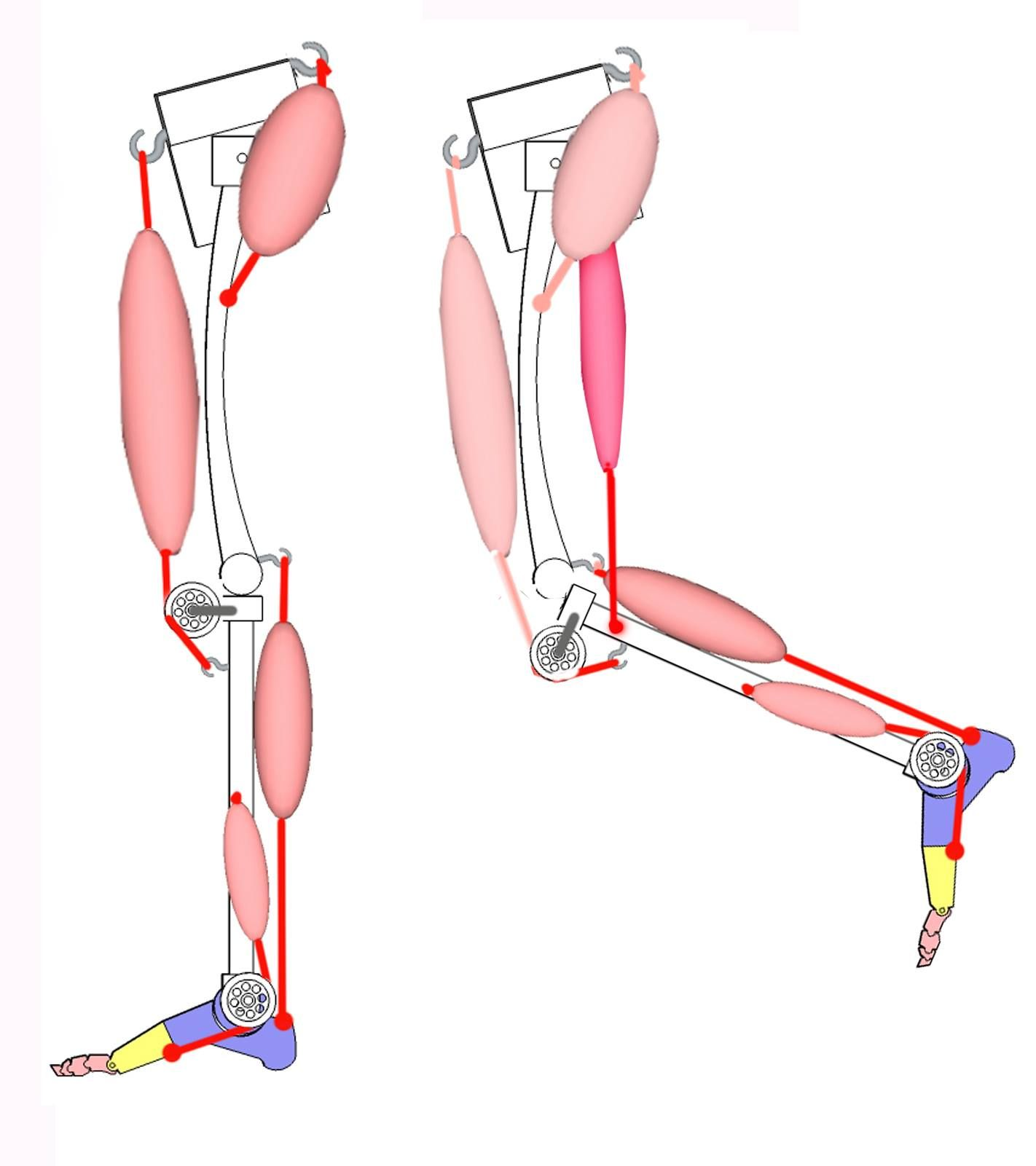 knee flexion with hamstring muscles | CG_3D_AnatomyStudy | Pinterest