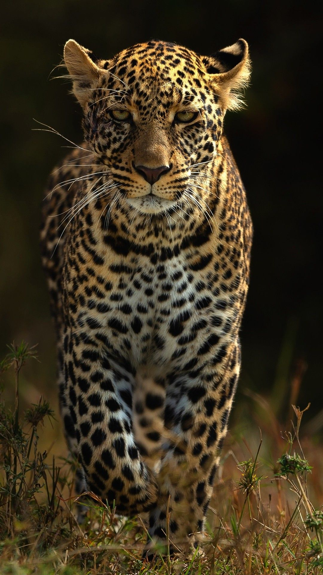 Leopards 4k Mobile Wallpaper Iphone Android Samsung Pixel Xiaomi In 2020 Leopard Wallpaper Tiger Wallpaper Mobile Wallpaper
