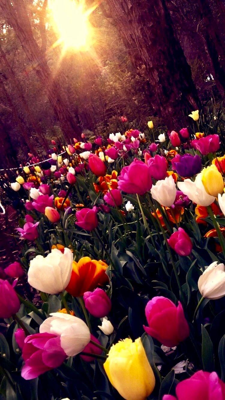 Pin De Alejandra Velez En Wallpapers Fondos De Pantalla Tulipanes Fondos De Pantalla Flores Fondo De Pantalla De Flores Vintage