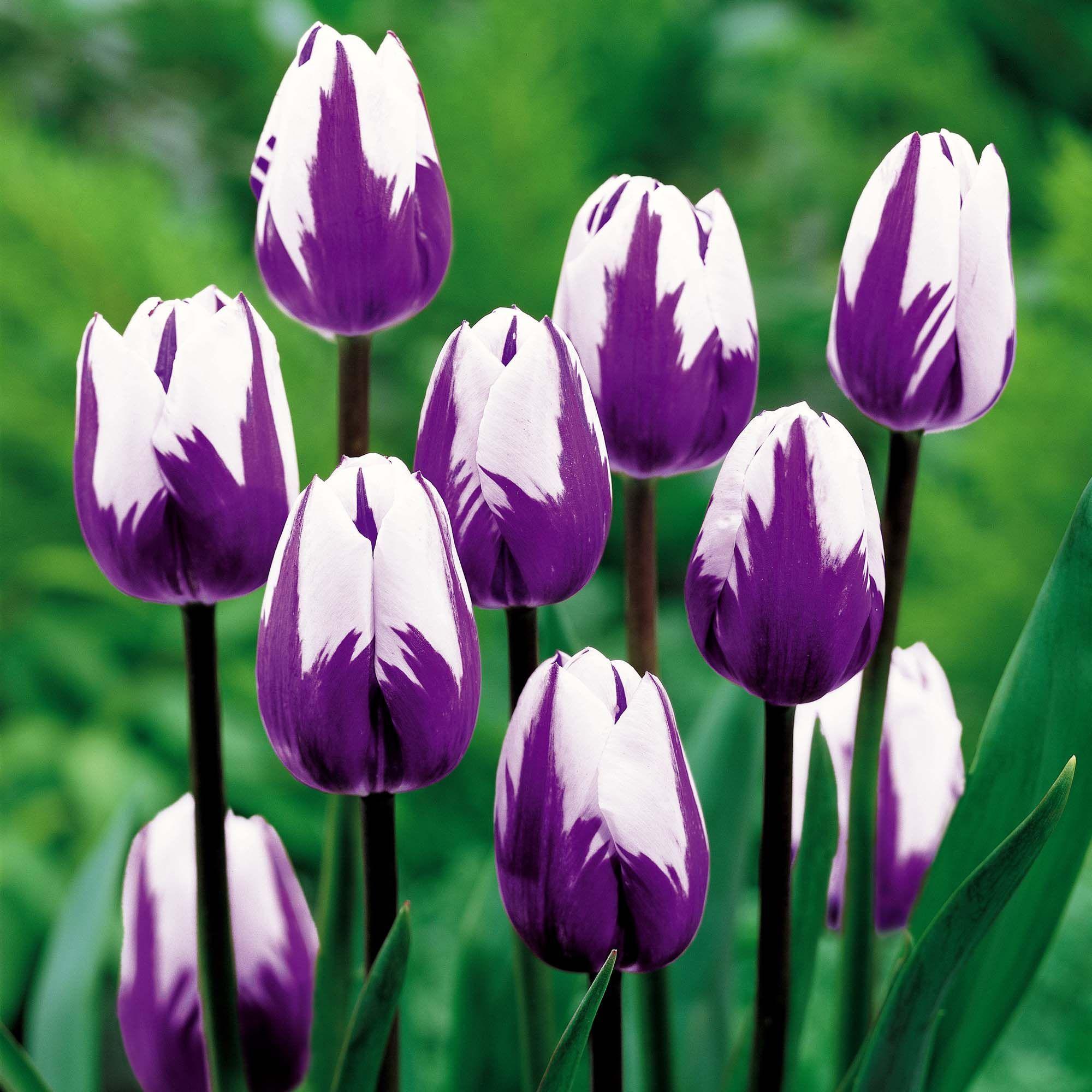 Tulip Tulip Purple Tulip Flower Wide Screen 3d Hd High Resolution Wallpaper Bulb Flowers Tulips Flowers Tulip Seeds