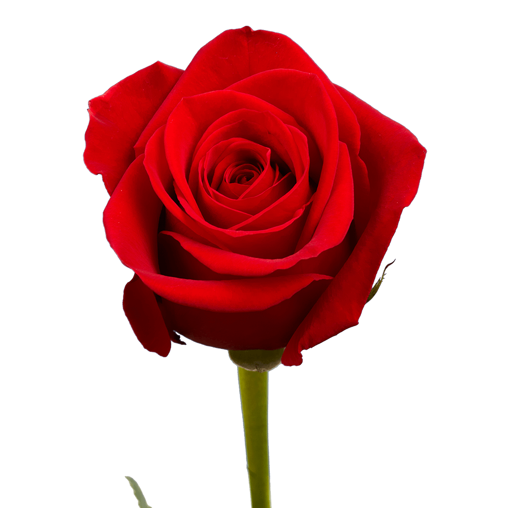 Freedom Roses Pure Red in 2020 100 red roses, Fresh