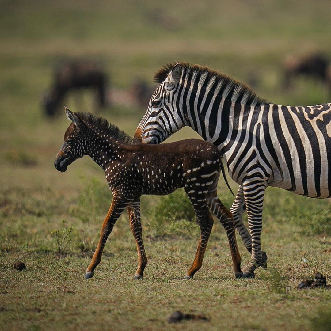 A very rare Zebra with spots instead of stripes at The