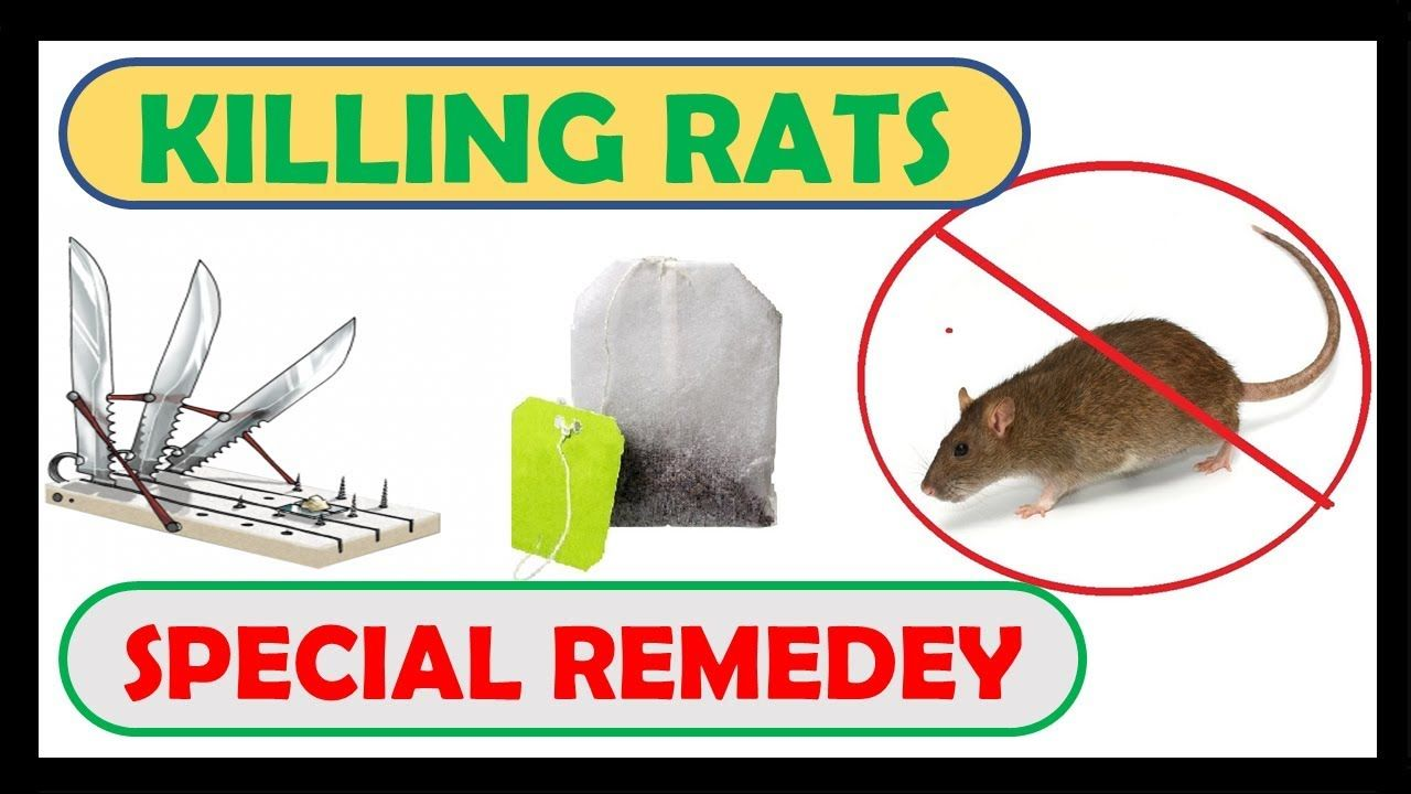 Pin On How To Get Rid Of Mice In Apartment House Naturally Spiders In Your H