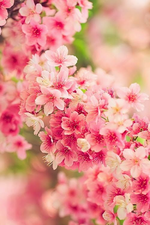Fantastical Flitherings Spring BlossomPink FlowersJapanese Cherry