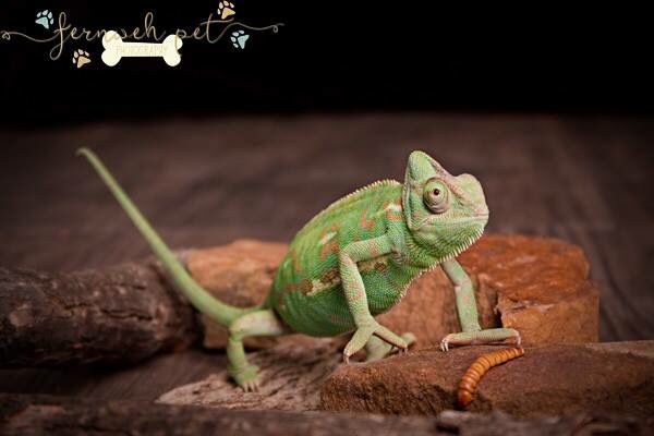 Jupiter the Veiled Chameleon