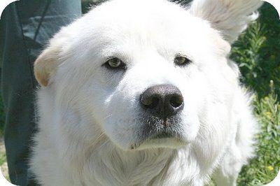 Chow Chow Samoyed Mix Omg With Images Samoyed Pet Dogs