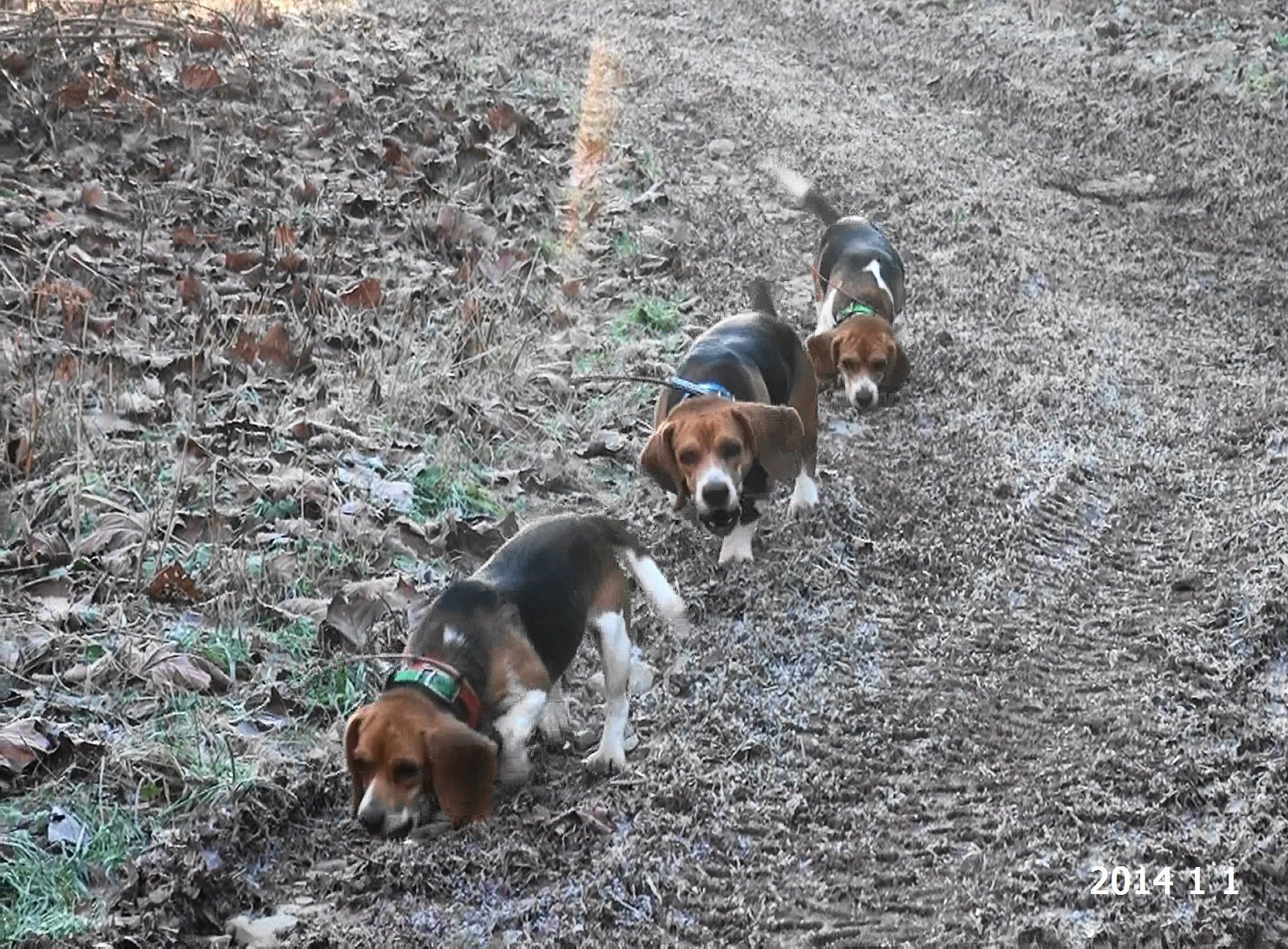 Skyview S Beagles Rabbit Hunting With Ron Asbury Ranger Drake