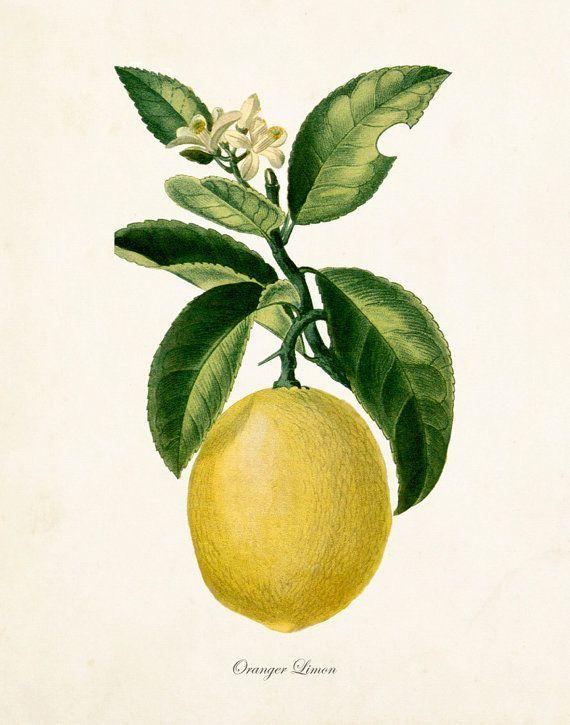 French Botanical Lemon Print No.12 - Giclee Canvas Prints - Kitchen ...