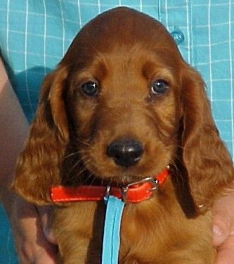irish setter puppies irish setter puppies - god I miss Sally, our dog, who looked as cute as this :)