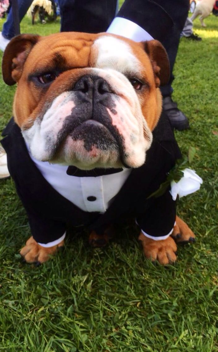 English Bulldog Wearing A Tuxedo Bulldog Bulldog Puppies English Bulldog