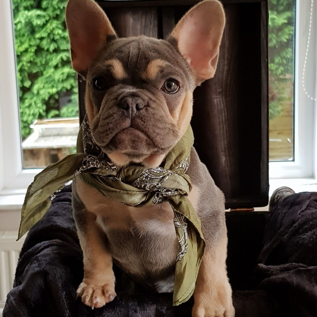 Frenchbulldog Frenchie With Images French Bulldog Puppies
