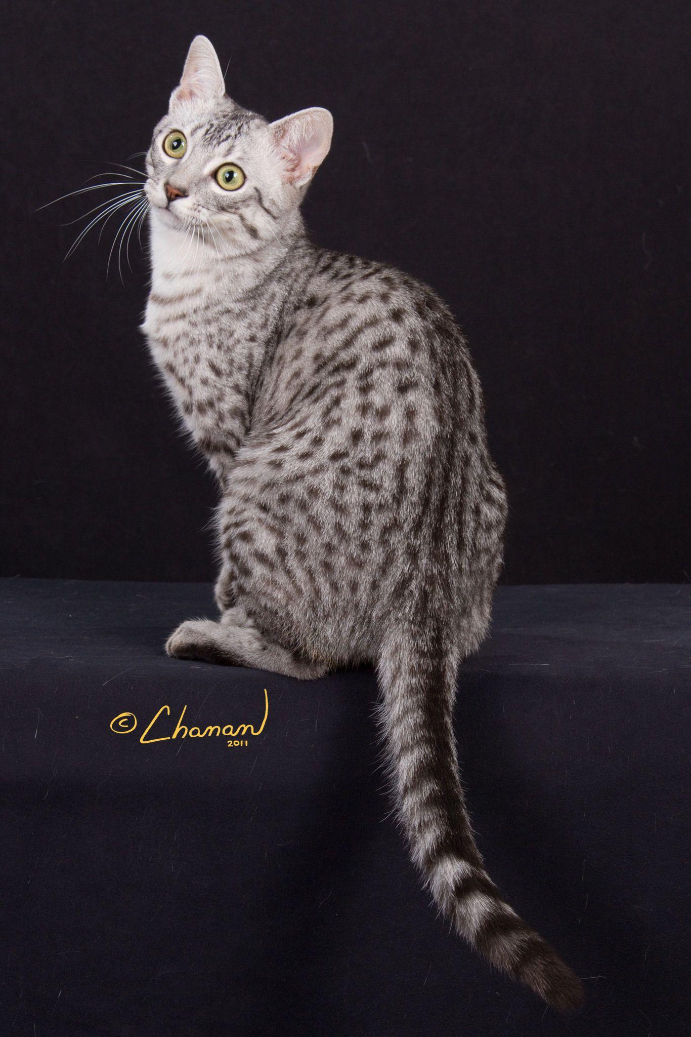 Breed Profile The Egyptian Mau Egyptian Mau Egyptian Cat Breeds Pretty Cats