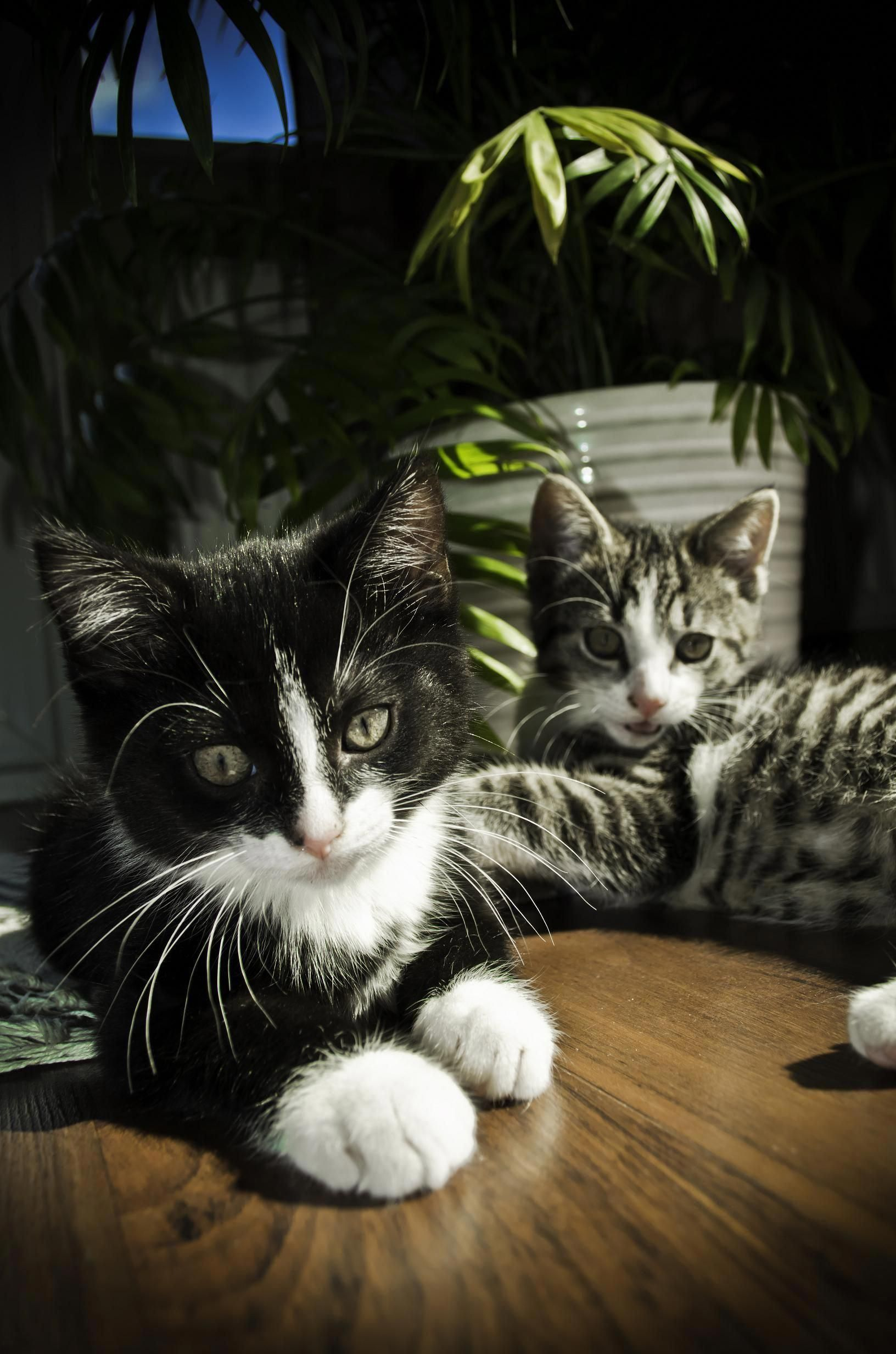 Cats near me for sale catsclaw cats cat training
