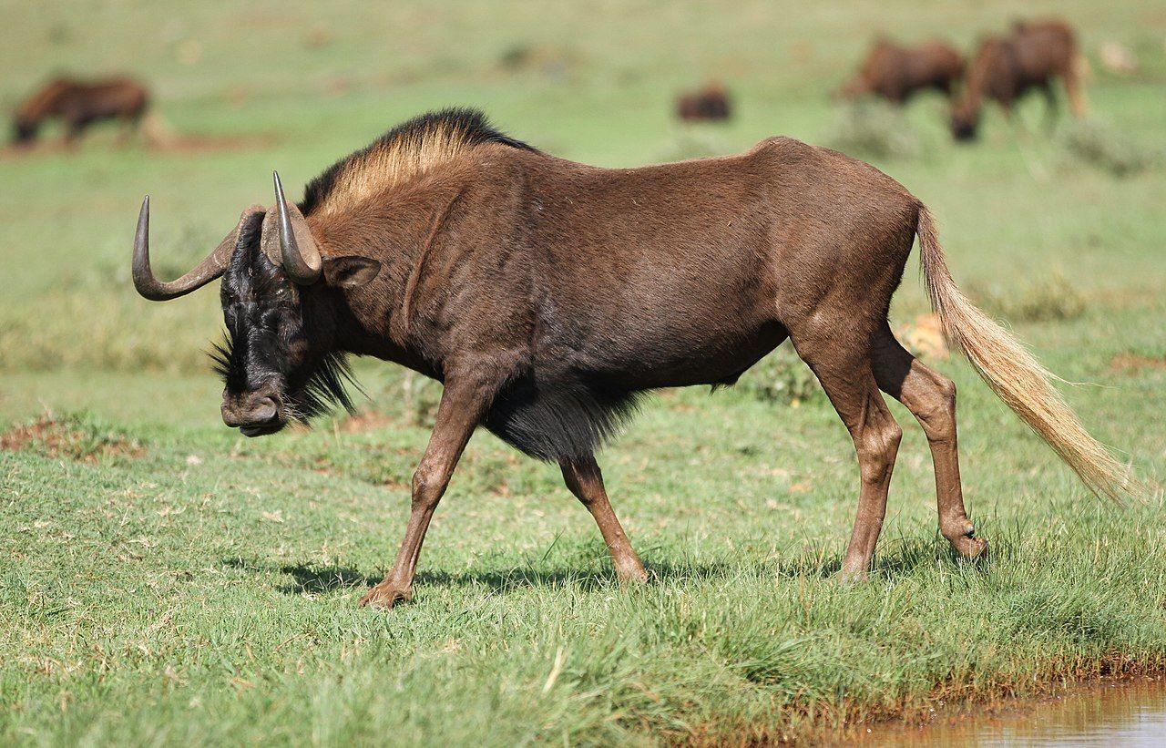 Black Wildebeest C Gnou Krugersdorp Game Reserve South Africa