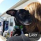 Check out Lizzy, an adoptable Miniature Pinscher on Adopt-a-Pet.com.