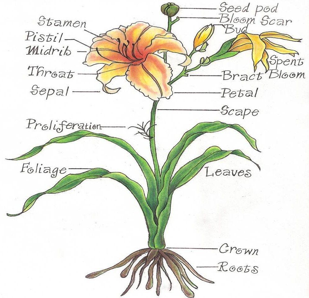 Parts of the whole flower diagram electrical wiring diagram tomato flower diagram wallpaper cycle 1 pinterest diagram rh pinterest com plant diagram flower parts diagram ccuart Choice Image