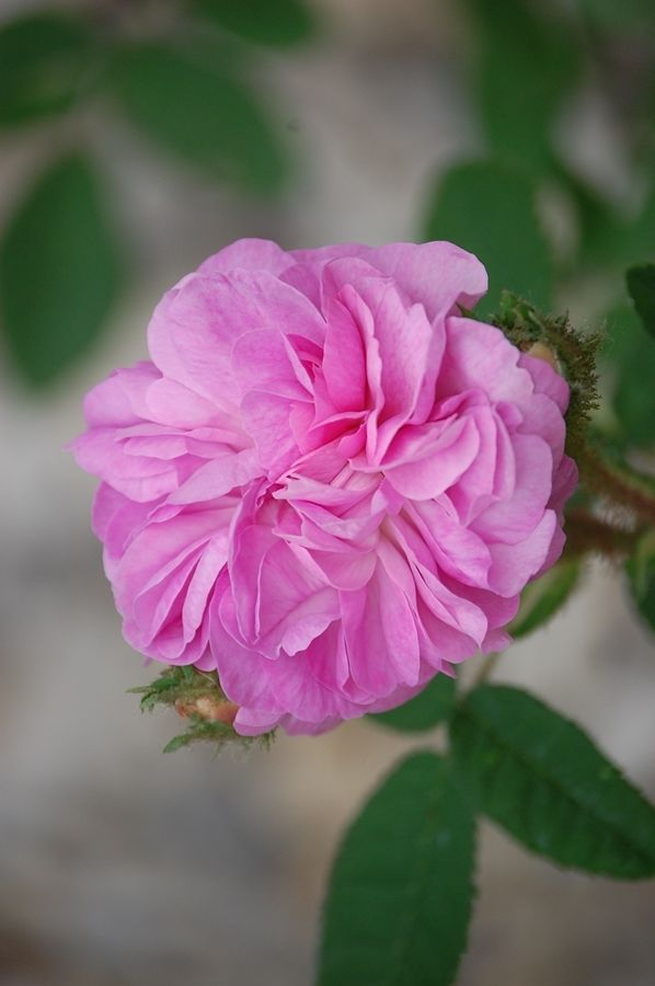Moss Rose: Rosa 'Venus' (Germany, 1904)