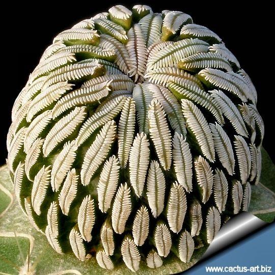 Pelecyphora Aselliformis Is A Cactus Species From Mexico