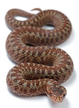 Vipera berus, the common European adder.  This stunning little lady is one of my favorite models of this species.
