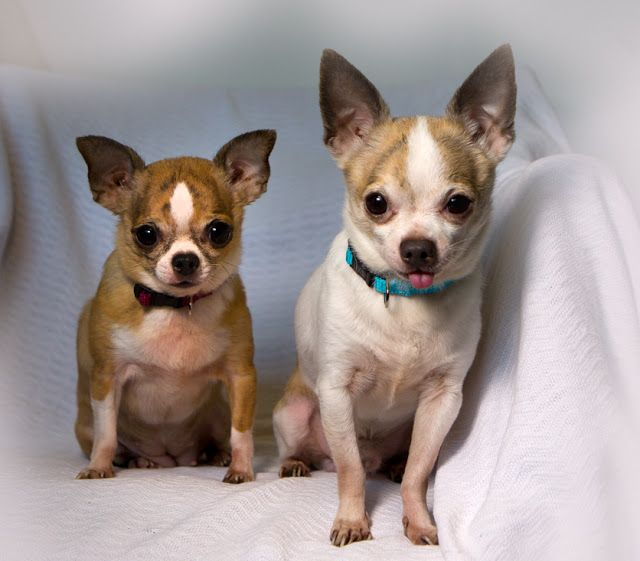 Shelter Dogs Of Portland Jodi Joshua Little Chihuahua Couple A Bonded Pair Chihuahua Shelter Dogs Dogs
