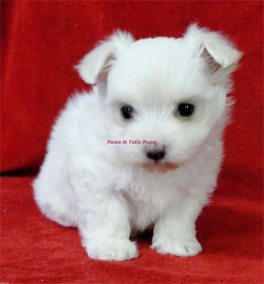 Griffin Male Akc Maltese Puppy Www Pawsntailspups Com
