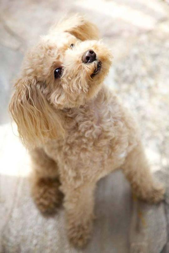 Tina Motta Hunde Goldendoodle Und Tiere