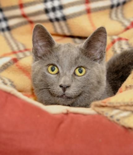 Cary Grant Is An Adoptable Russian Blue Cat In Los Angeles Ca Http Www Petfinder Com Petdetail 24854235 Russianblue Ca Russian Blue Russian Blue Cat Cats