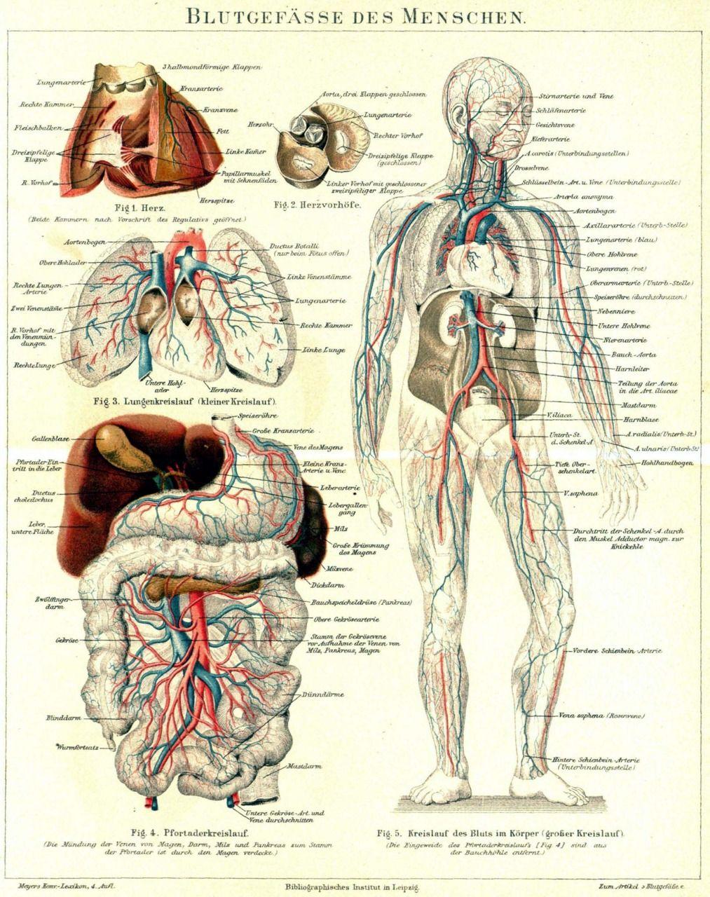 human-anatomy-illustration-blutgepasse-des-menschen-artery-heart ...
