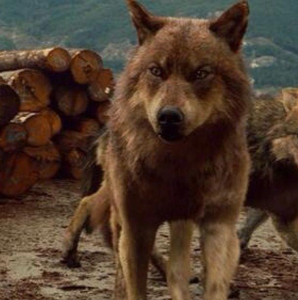 Jacob Black in wolf form #BreakingDawn | My Favorite TV Shows