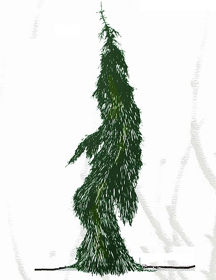 Picea Abies Péndula Ciprés De Los Pantanos Arboles Paisajismo