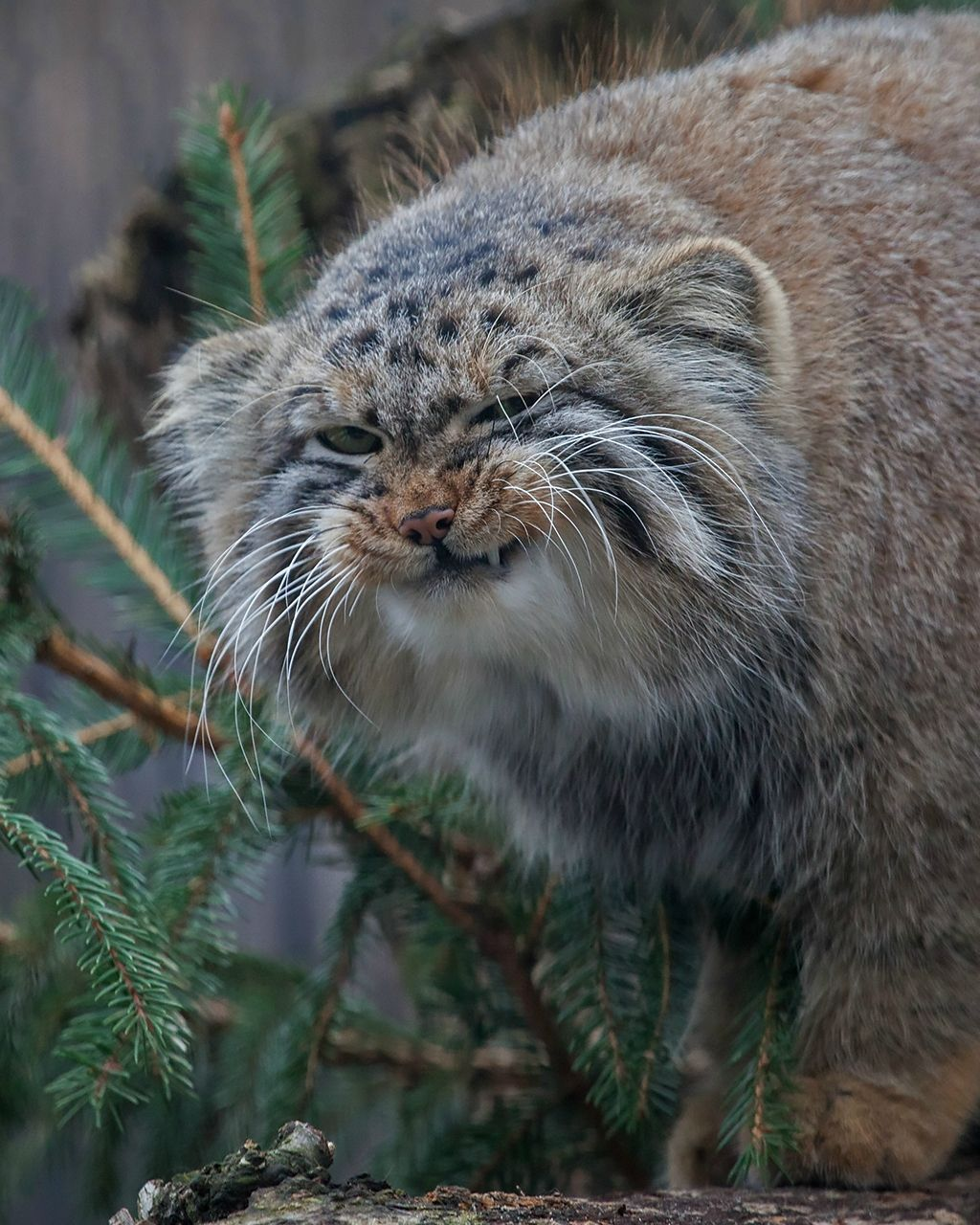 """Pallas cat """"I know you like me. Look at this face. I"""