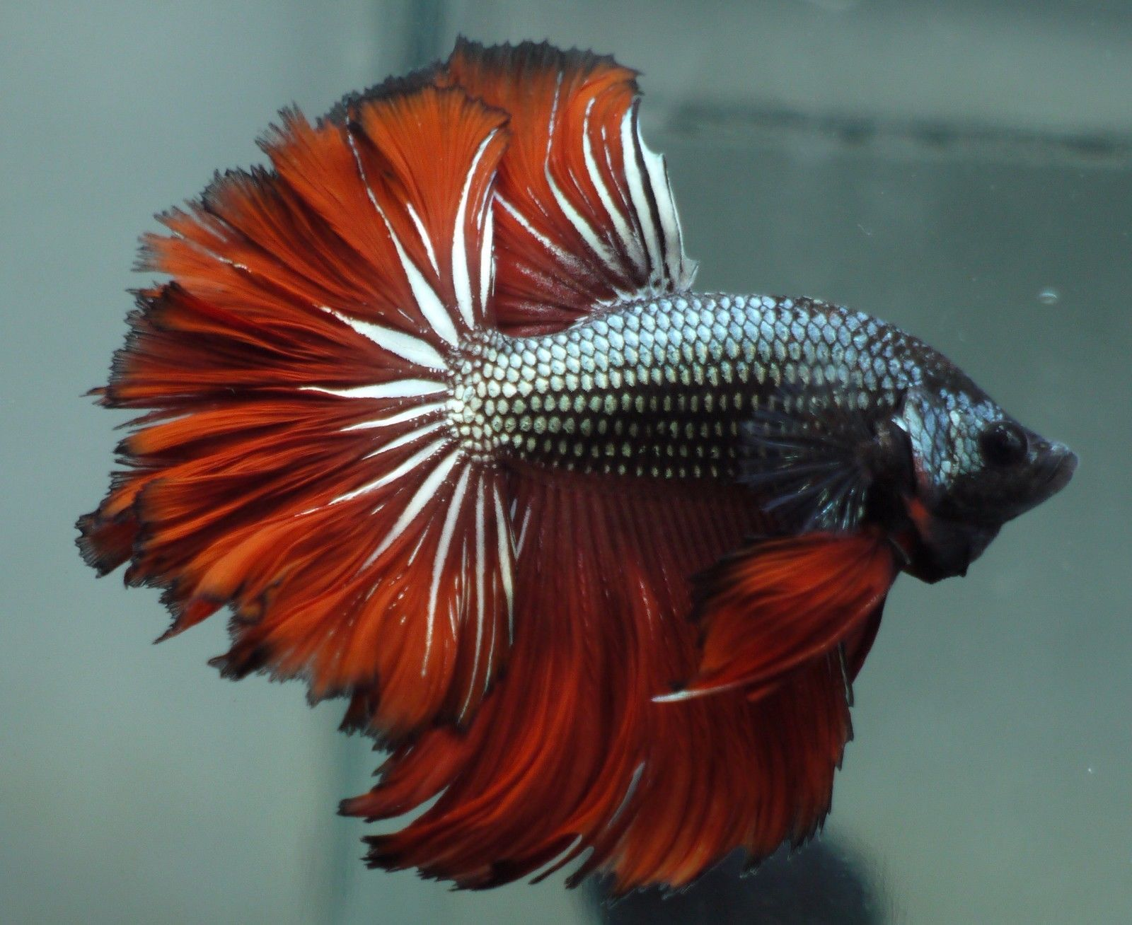 live Tropical Fish-Copper red black rosetail halfmoon betta I5 ...