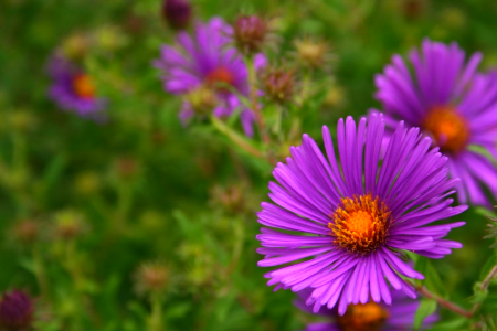 How To Care For Asters Perennials Plants Aster Flower