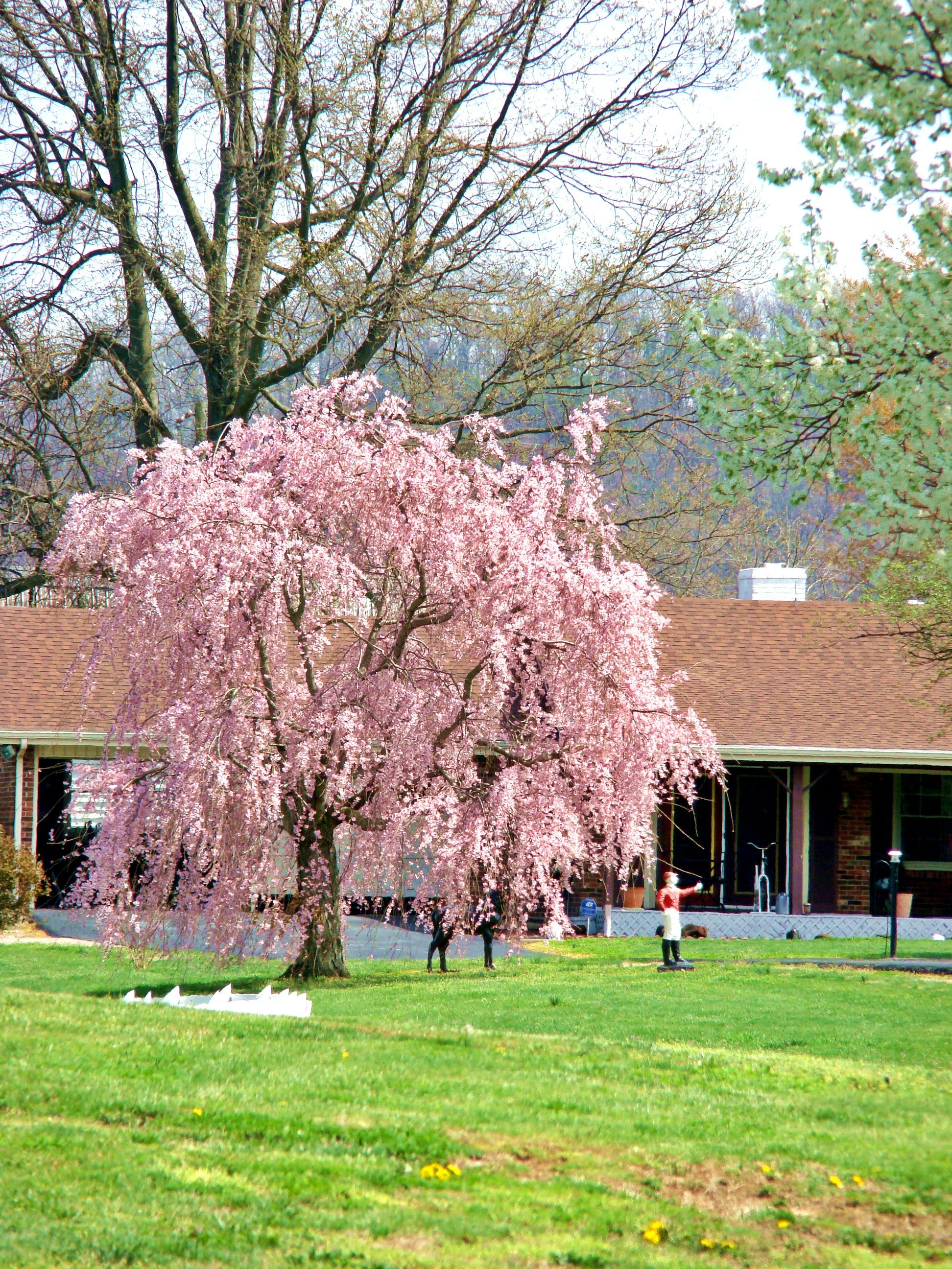 Weeping Cherry Tree I Would Love This In Our Backyard Weeping Cherry Tree Nature Garden Tree