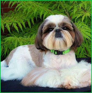 Grand Champion Jam Ups Gimme Johann Sebastian Bark Call Name Sebastian 3 Yrs Old Shih Tzu Shih Tzu Dog Shih Tzu Puppy