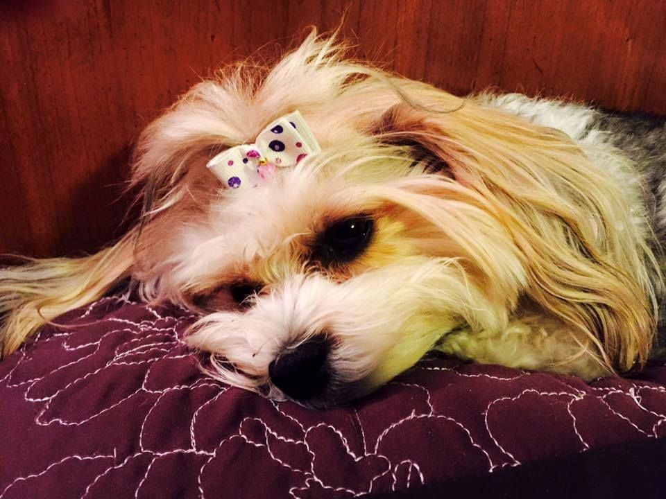 ~ Daily Dose of Cuteness ~  Gracie again...our Morkie! 9Shared by Donna Wheeler Wilson) #DogoftheDay http://aboutmorkies.com/ Follow us: Facebook.com/YorkiesMorkiesMaltese Twitter.com/morkienation #dog #doglovers #animals #pets #yorkies #yorkie #yorkielovers #petlovers #dogowners #puppy #adorablepets #sillydogs #smallanimals #instadogs #instayorkie #instapuppy #instaanimals #petsofinstagram #dogsofinstagram #yorkieofinstagram #puppylove #animallovers #ilovemypet #ilovemyyorkie #igdogs…