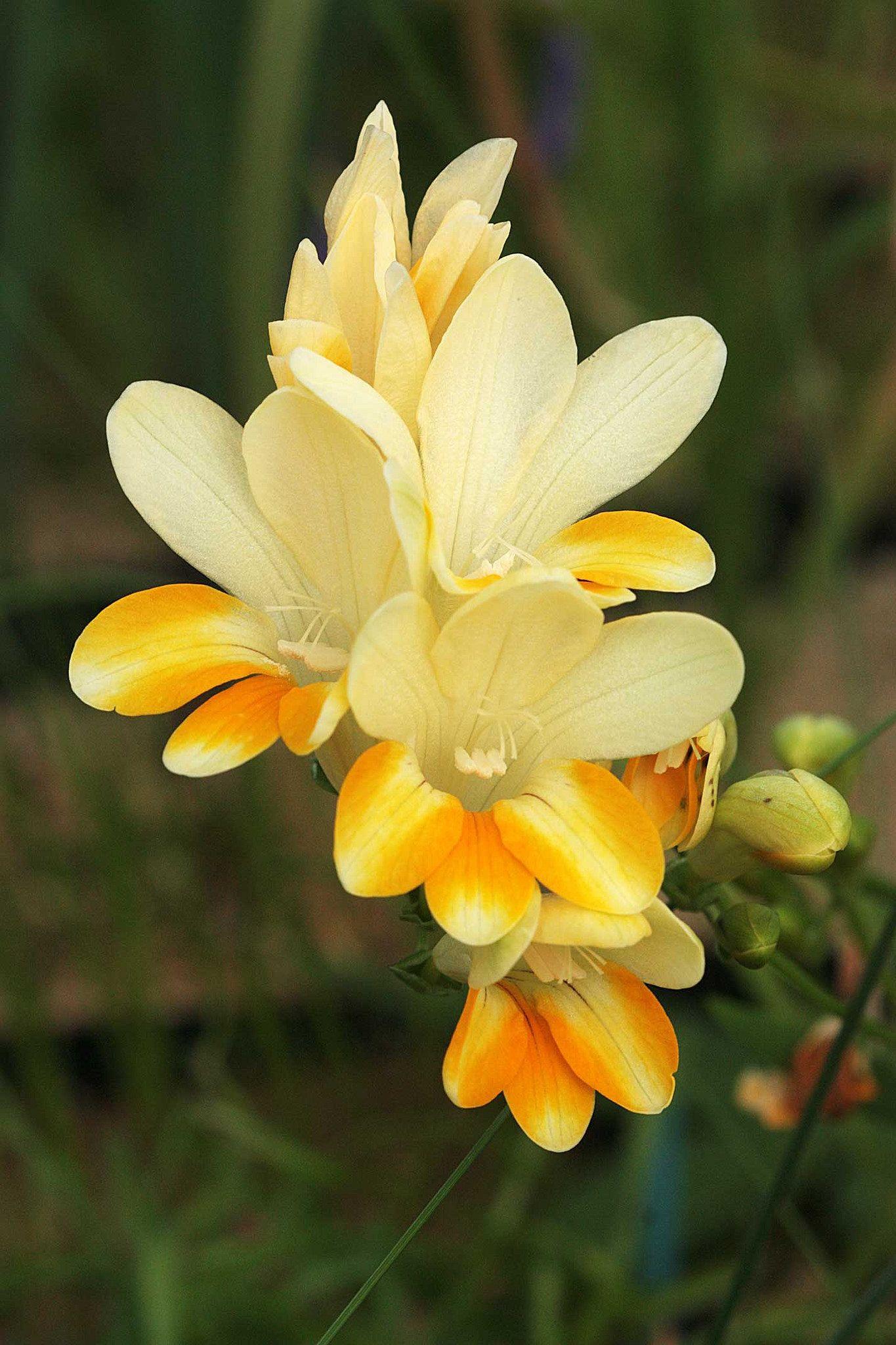 freesia fergusoniae 25 02 15 Amazing flowers, Types of