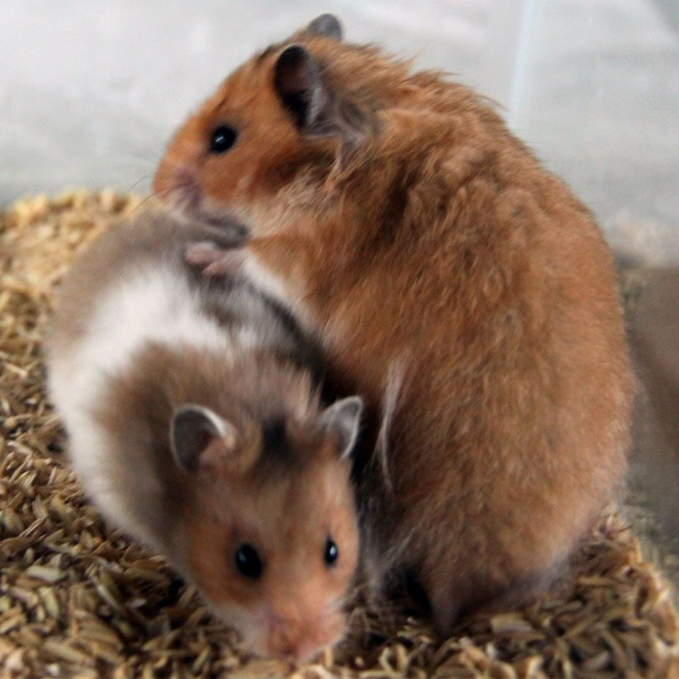 I ROBOROVSKI Named after the Roborovsky and Koslov expedition when in July of 1894 a specimen of this hamster was captured The Roborovskis natural habitat is