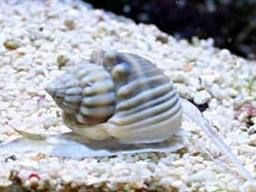 Nassarius Snail Snail Reef Tank Saltwater Aquarium