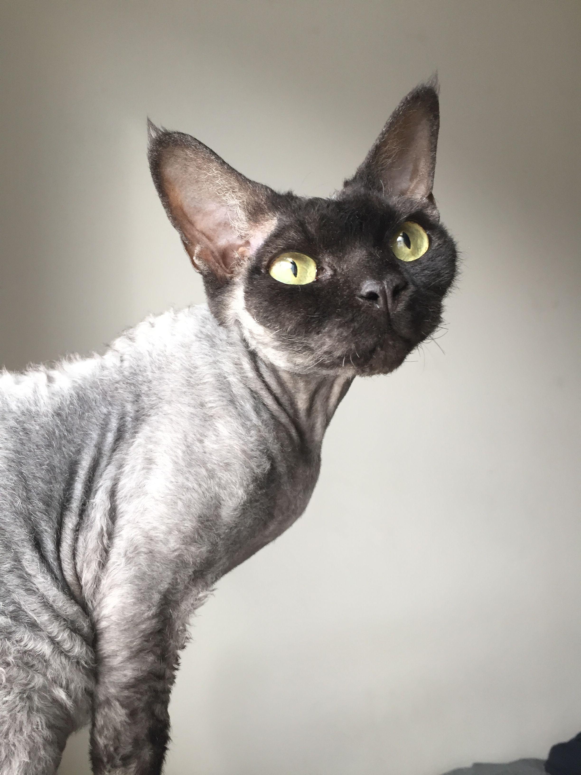 Lila Devon Rex Devon Rex Cats Purebred Cats Cats With Big Eyes