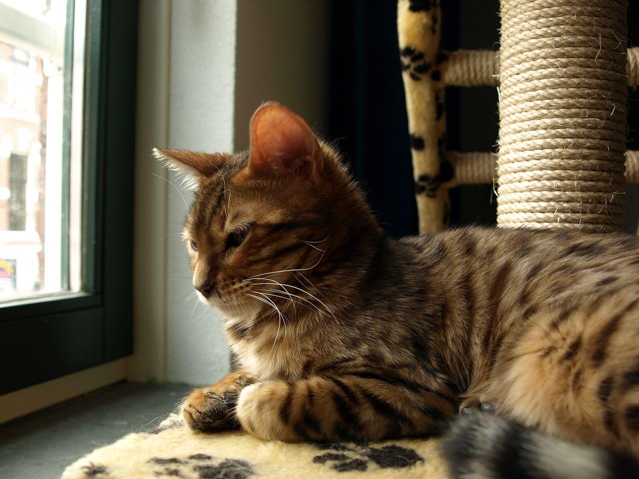 البنغال القط الصور والوصف Vorlieben