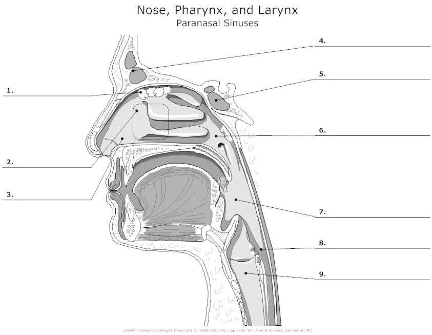 Paranasal Sinuses Unlabeled | Anatomy | Pinterest ...