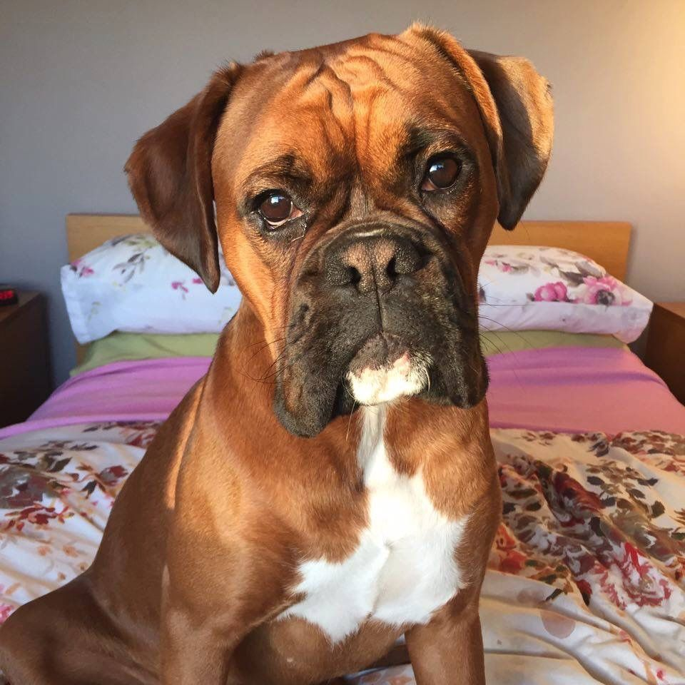 Beauty Boxer Boxer Dogs Boxer Puppies Boxer Dog Puppy