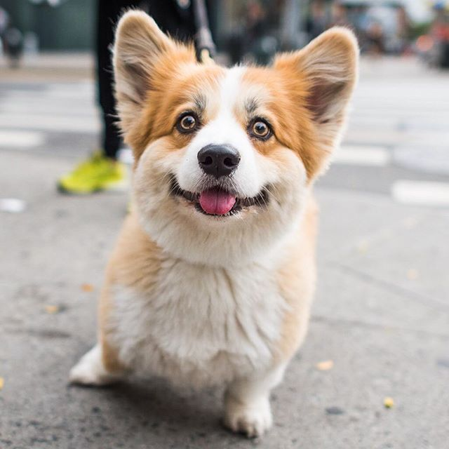 Bogey Pembroke Welsh Corgi 2 Y O 14th 2nd Ave New York Ny