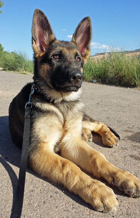 Maxwell the German Shepherd