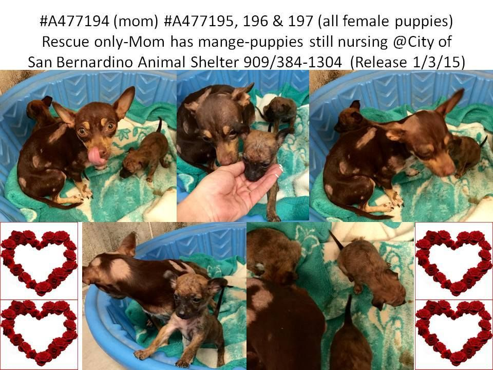 Momma And 3 Nursing Puppies 4 Weeks Are Rescue Only Mom Also