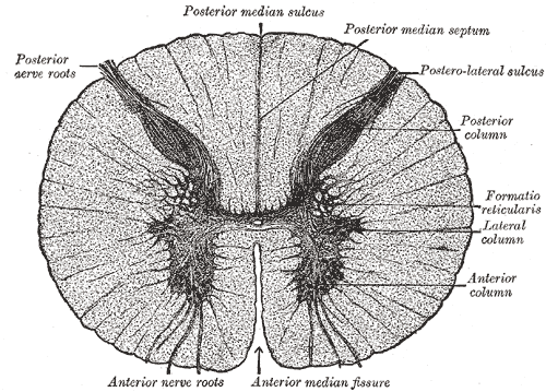 Cross-section through the spinal cord at the mid-thoracic level.